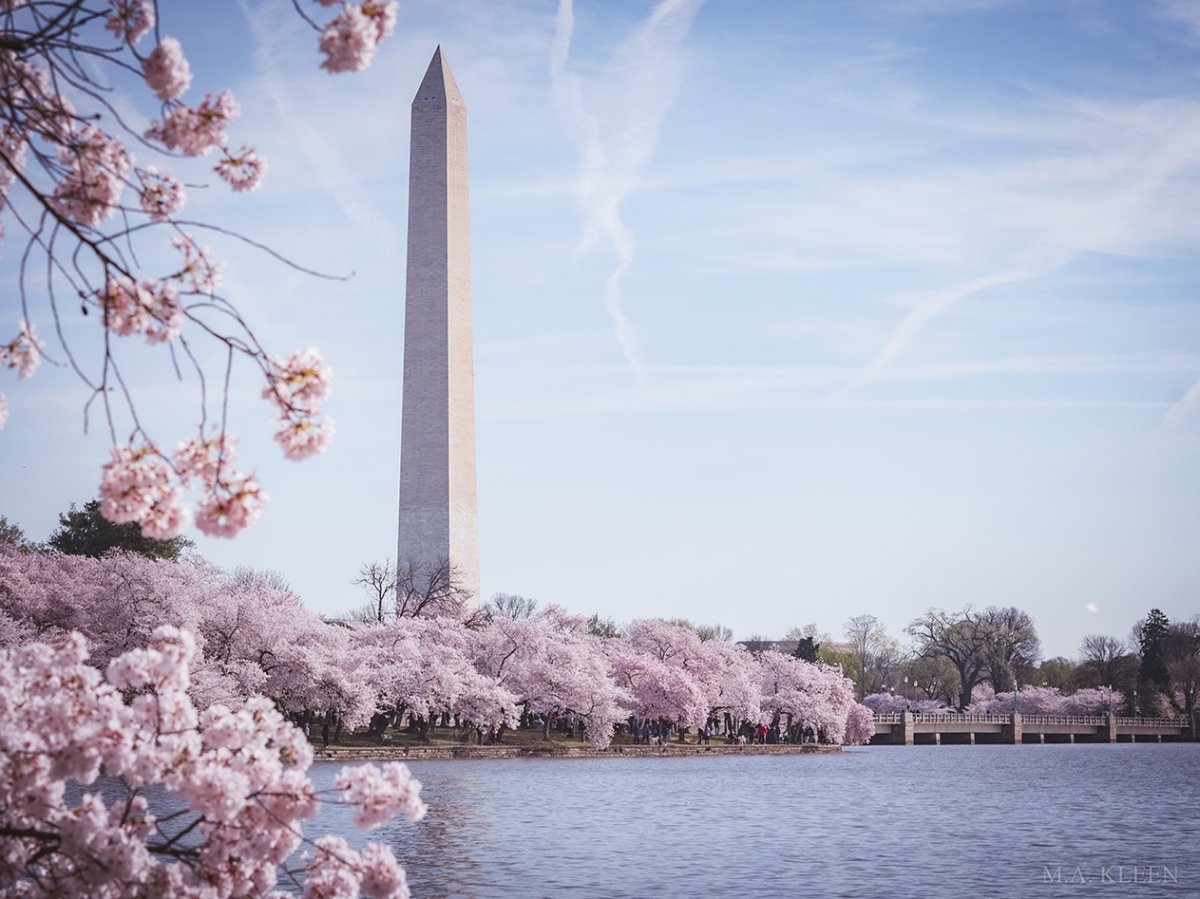 D.C. Cherry Blossoms 2020